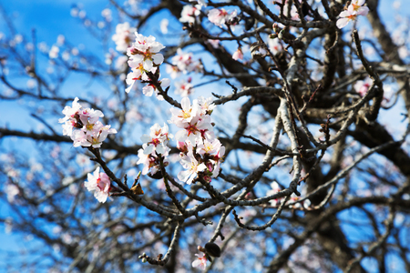 temperate region: Branches of cherry plant with white flowers in blue sky