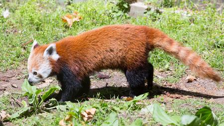 bearcat: red panda (Ailurus fulgens) on ground
