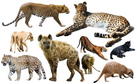 felidae: Set of wild mammals isolated over white background, mainly Felidae
