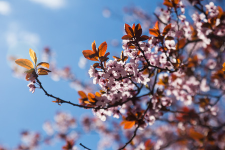 temperate region: Beautiful cherry orchard with flowers in bloom Stock Photo
