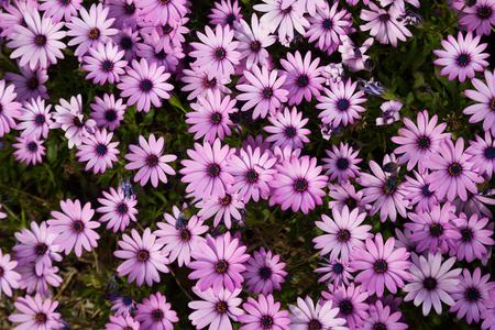 multitude: close up of multitude pink flowers gazania longiscapa outdoors Stock Photo