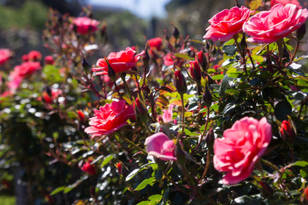 red bush: Closeup view on red bush rose flowers blooming in garden Stock Photo