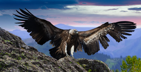 span: Flying gyps with huge wing span in multicolored sky and rocky mountains Stock Photo