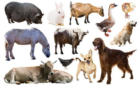 billygoat: Set of setter and other farm animals. Isolated over white