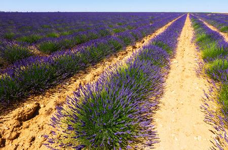 lavanda: Field of   lavender in summer time Stock Photo