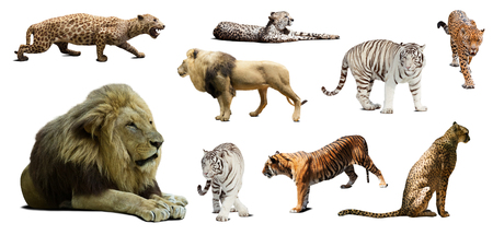 wildcats: Set of male lion and other big wildcats. Isolated over white background with shade