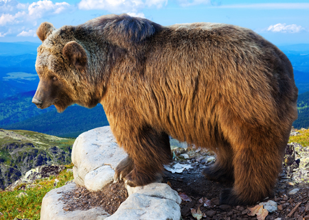 wildness: Brown bear on stone of rock in wildness area Stock Photo
