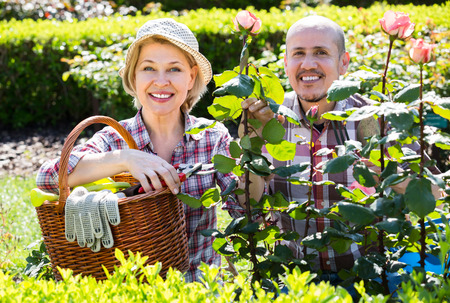 70 75: Happy smiling aged couple gardening with roses in the backyard garden Stock Photo