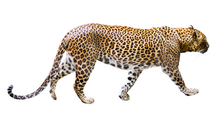 catamountain: Image isolated adult male leopard on a white background Stock Photo