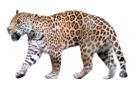 onca: The adult male jaguar walking (Panthera onca). Isolated over white background