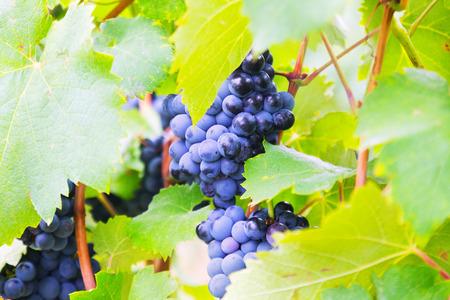 august: vineyards plant in  august day. Mediterranean France