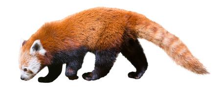 bearcat: image of red panda on a white background