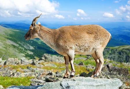 Standing muflon on rock at wildness area Stock Photo