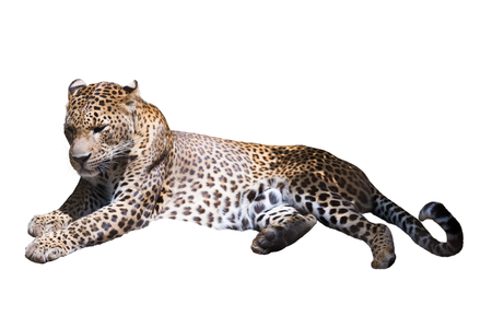 catamountain: Adult leopard lies on a white background, isolated