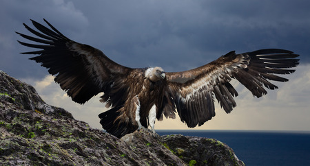 mountings: big gyps carnivore bird with opened wings flying with mountings and rocks on background