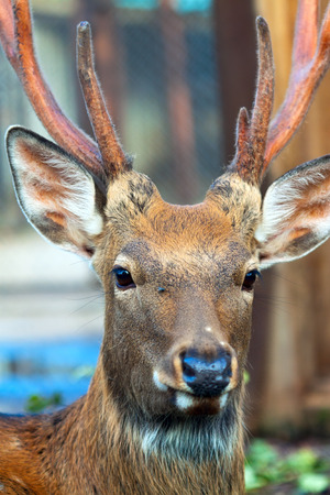 sika deer: Sika deer also known as the spotted deer or the Japanese deer  against sunset sky