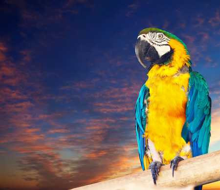 Green-winged macaw (Ara chloropterus) against dawn sky