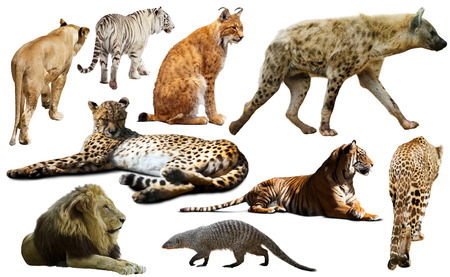 felidae: African predator animals isolated over white background, mainly Felidae