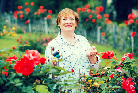 red bush: glad mature woman gardener taking care of red bush roses outdoors on summer day