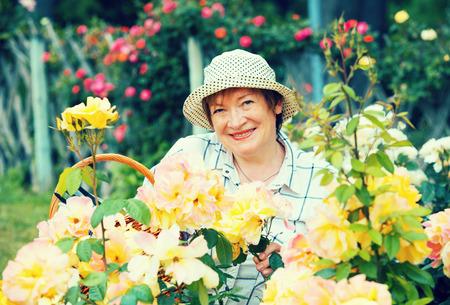 horticultural: smiling senior woman gardener with horticultural tools working with roses in garden