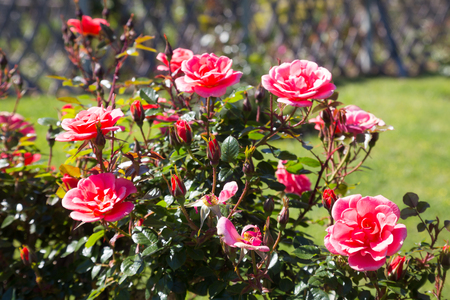 red bush: blossoming red bush rose plants in flowerbed in sunlight Stock Photo
