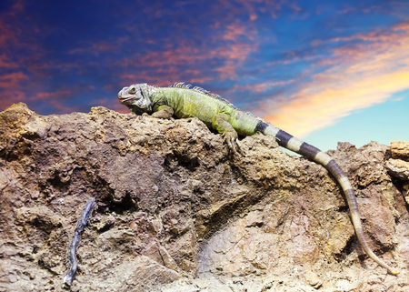 wildness: Green iguana on stone at wildness area against sunset sky Stock Photo