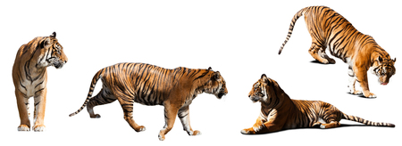 catamountain: set of tigers  over white background with shade Stock Photo