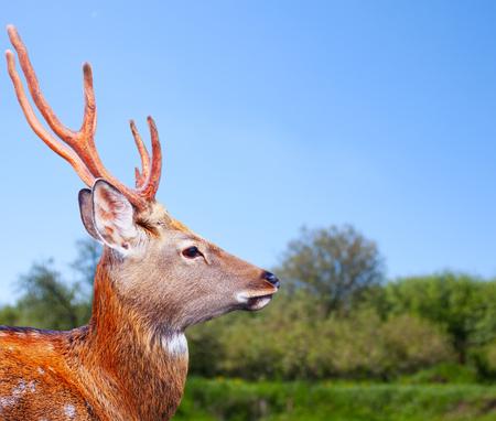 sika deer: Head of Sika deer (Cervus nippon) in wildness Stock Photo