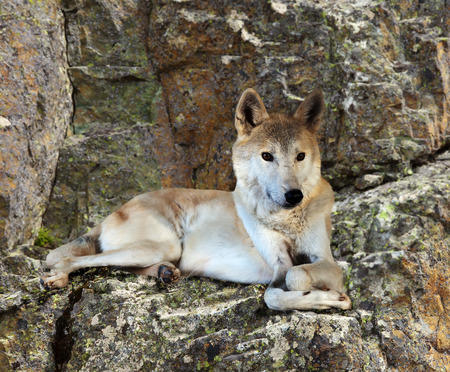 wildness: Gray wolf sits on rock in wildness Stock Photo