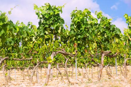 rioja: Vineyards in sunny day. La Rioja, Spain