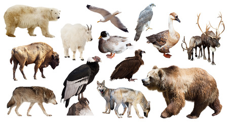 north american: Set of brown bear and other North American animals. Isolated on white background