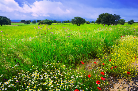 uncultivated: landscape with uncultivated green grass, small field flowers and rainy clouds
