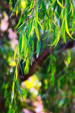 bush to grow up: Closeup of  jarrah (Eucalyptus marginata) plant  in spring