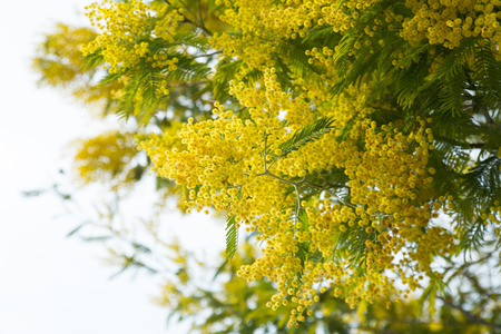 Branches of acacia dealbata with yellow flowers in spring park