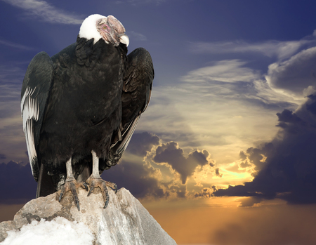 Andean condor sitting on rock  against sunset sky background