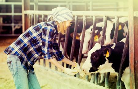 Alegre vaquera en pantalones vaqueros que se ocupan de las vacas en el establo de ganado Foto de archivo