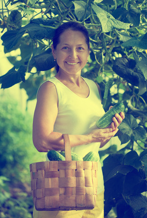 forcing bed: Happy woman with harvested cucumbers in the hothouse