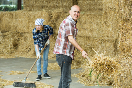 Farm employees with pitchforks preparing hay in livestock barn