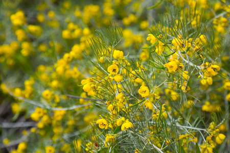 botanics: Close up of small yellow flowers senna artemisioides in the park