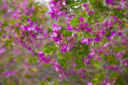 multitude: close up of multitude pink flowers polygala myrtifolia outdoors
