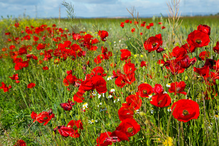 uncultivated: red poppy flowers on uncultivated field in sunlight on summer day