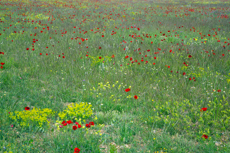 uncultivated: Closeup on many of poppy flowers on uncultivated field on summer day Stock Photo