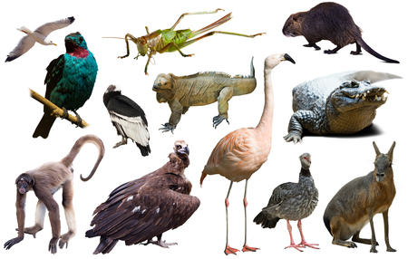 catamountain: collection of different reptiles; birds; mammal animals and insects from south america isolated on white background