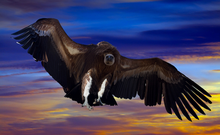 wing span: Flying gyps with huge wing span in the sky