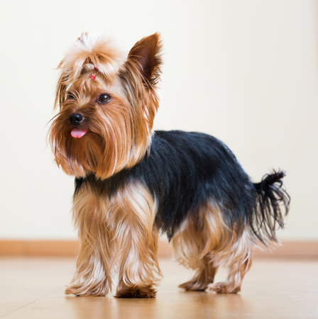 full length shot of Yorkshire Terrier staying on parquet  floor