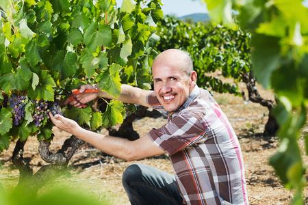 latino man: Mature cheerful latino man picking ripe grapes on vineyard on sunny day