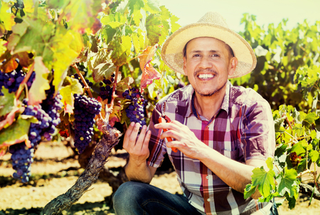 diligente: Feliz macho adulto, diligente trabajador latino recogiendo uvas maduras en el jard�n de la vid