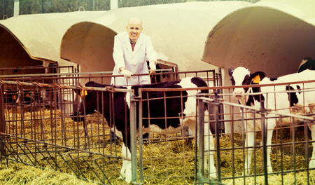 smiling elderly employee in gown nursing young cattle in cowhouse outdoors Stock Photo