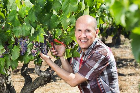 latino man: Mature cheerful latino man picking ripe grapes on the vineyard on sunny day