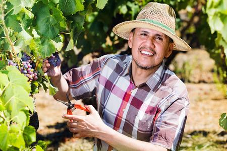 latino man: Mature cheerful smiling latino man picking ripe grapes on vineyard on sunny day